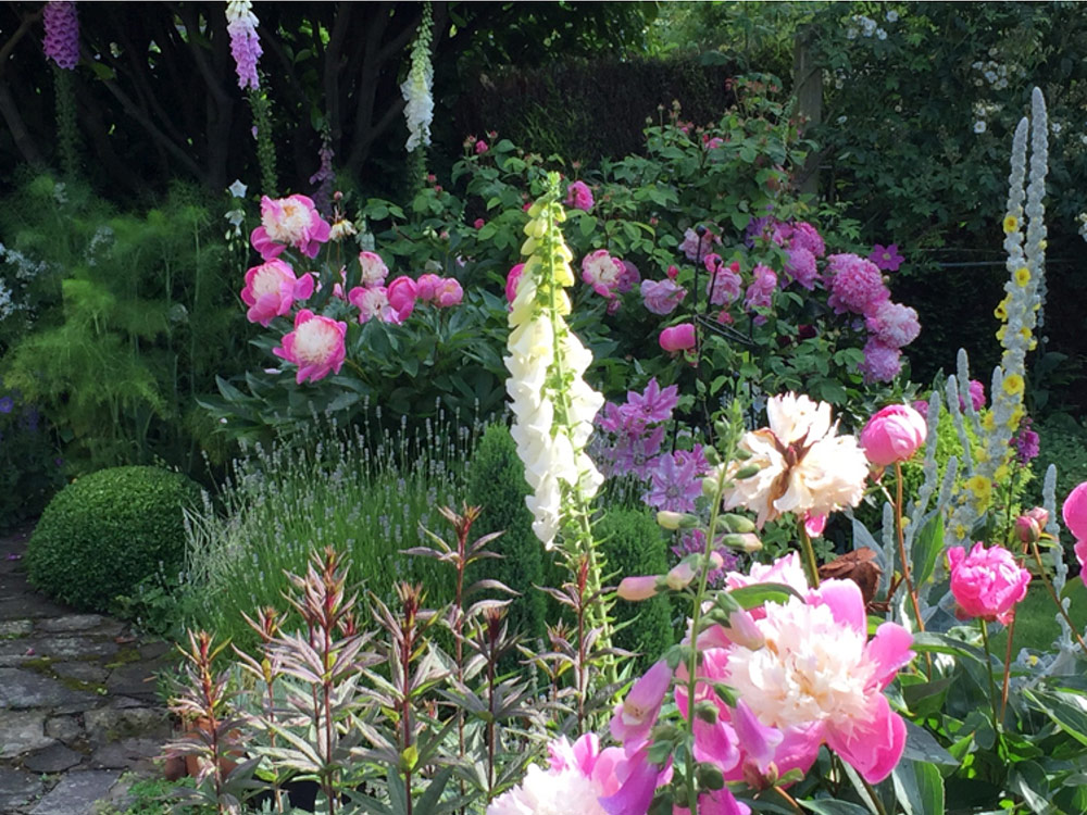 Peonies growing in Caroline Benedict Smith 's Cheshire garden