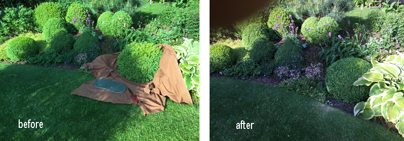 Box topiary clipping before and after