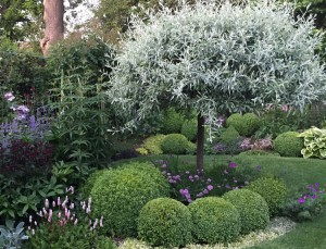 Clay Soil - Silver pear tree - Caroline Benedict Smith Garden Design Cheshire
