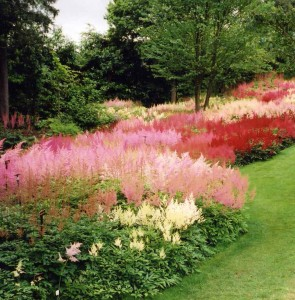 Astilbes in the clay soil garden of Holehird Windemere - Caroline Benedict Smith Garden Design Cheshire