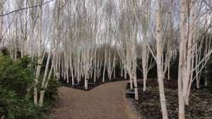 Betula utilis Jacquemontii showing winter structure in Anglesy - Caroline Benedict Smith Garden Design Cheshire