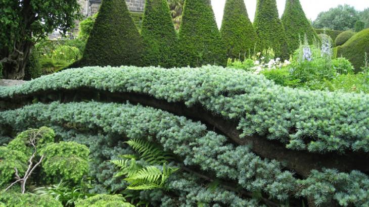 Cedrus atlantica Glauca Pendula- Weeping Blue Atlas Cedar - Caroline Benedict Smith Garden Design Cheshire