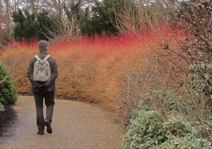 Cornus alba Sibirica showing winter structure- Anglesey Abbey - Caroline Benedict Smith Garden Design Cheshire