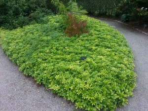 Pacysandra terminalis for winter structure -RHS Rosemoor - Caroline Benedict Smith Garden Design Cheshire