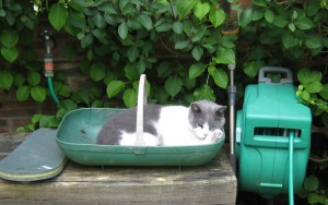 A Cat Squeezes Into A Garden Trug - Caroline Benedict Smith Garden Design Cheshire