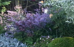 Catmint - intense blue - Caroline Benedict Smith Garden Design Cheshire