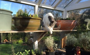 Garden Cat takes refuge in the Greenhouse - Caroline Benedict Smith Garden Design Cheshire