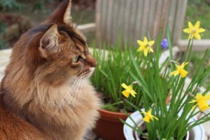 Neko admires the daffodils - Cats in the Garden - Caroline Benedict Smith Garden Design Cheshire