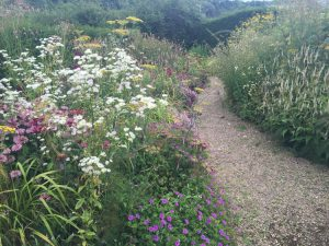 New Perennials or Wild Coastal Flowers at Dove Cottage - 1 - Caroline Benedict Smith Garden Design Cheshire