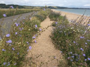 slapton-sands-coastal-flowers-1-caroline-benedict-smith-garden-design-cheshire