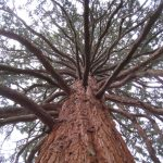 winter-trees-giant-sequoia-caroline-benedict-smith-garden-design-cheshire