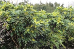 winter trees-mahonia-x-media-winer-sun-caroline-benedict-smith-garden-design-cheshire