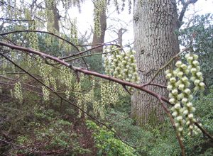 winter trees-stachyurus-praecox-caroline-benedict-smith-garden-design-cheshire