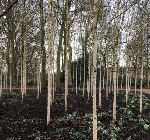 Betula utilis var Jacquemontii - Dunham Massey Winter Garden - Caroline Benedict Smith Garden Design Cheshire