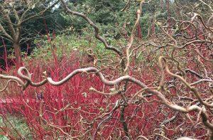 Cornus alba Siberian Pearls with Contorted Hazel - Dunham Massey Winter Garden - Caroline Benedict Smith Garden Design Cheshire