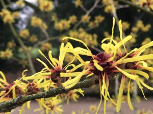 Hammamelis x intermedia Pallida - Dunham Massey Winter Garden - Caroline Benedict Smith Garden Design Cheshire