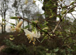 Lonicera purpusii Winter Flowering Honeysuckle - Dunham Massey Winter Garden - Caroline Benedict Smith Garden Design Cheshire