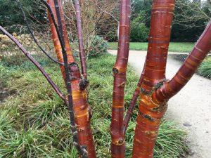 Prunus serrula Tibetica - Dunham Massey Winter Garden - Caroline Benedict Smith Garden Design Cheshire