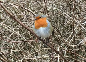 Robin Poses For Photo - Dunham Massey Winter Garden - Caroline Benedict Smith Garden Design Cheshire