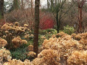 Winter Heads of Hydrangea Annabelle - Dunham Massey Winter Garden - Caroline Benedict Smith Garden Design Cheshire